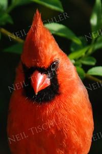 #864  Northern Cardinal portrait, male, in springtime.