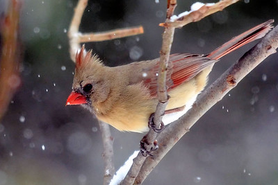 #1579  Northern Cardinal, female