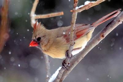 #1579  Northern Cardinal, female