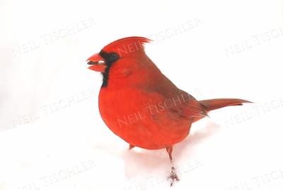#801  Northern Cardinal, male, on snow.