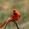 Male Northern Cardinial-Marion County Missouri