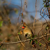 Female Northern Cardinal Marion County Missouri