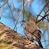Northern Flicker at Covington Park,Morongo,CA.