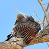 Northern Flicker,Red-shafted at Covington Park next to Big Morongo Canyon Preserve