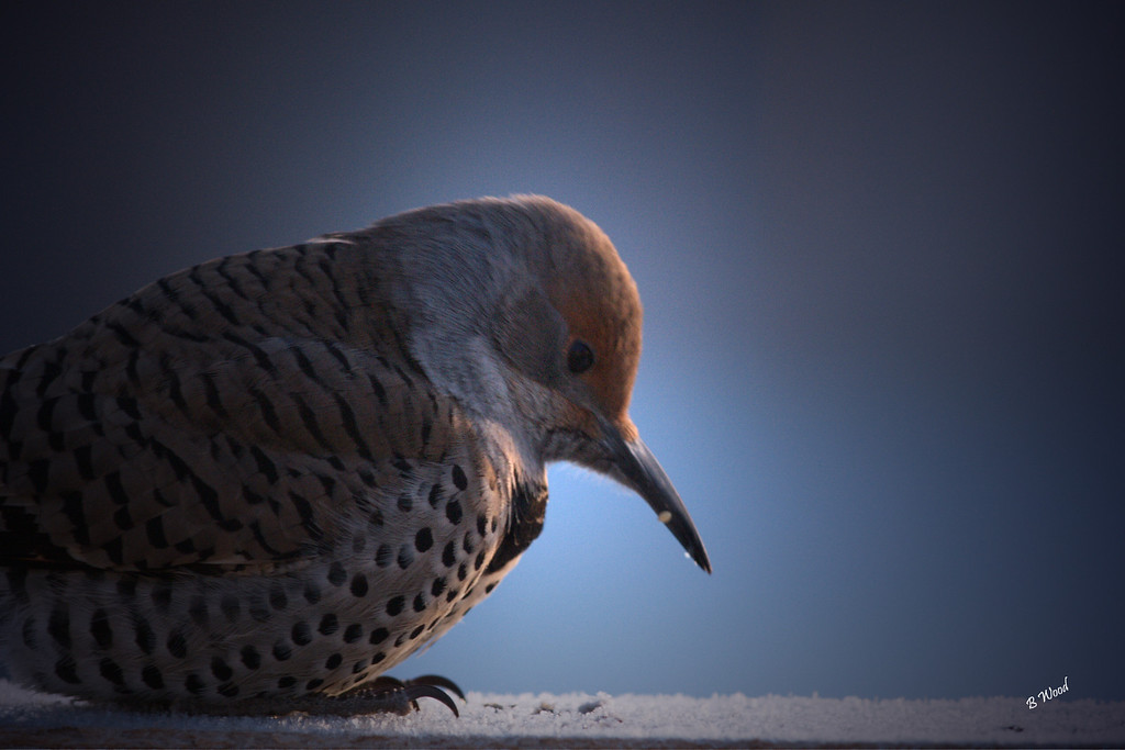 CA 07NV3529<br /> Female Northern Flicker (Colaptes auratus).