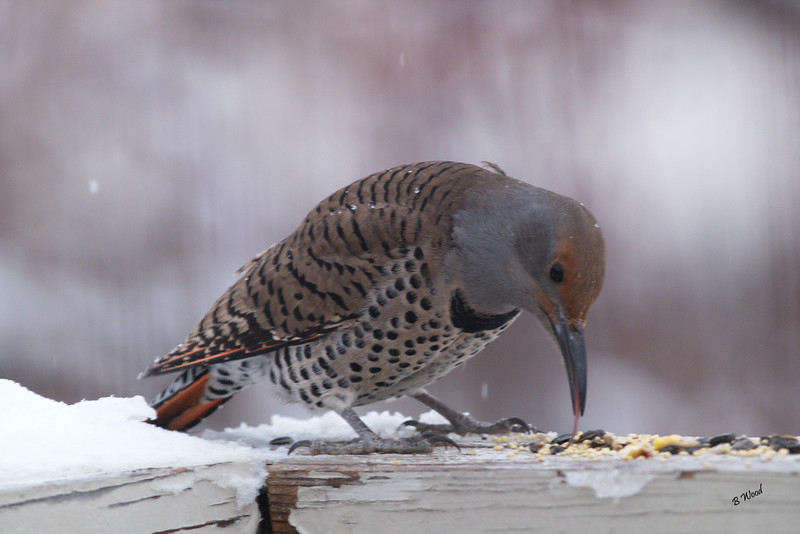 CA 07DC3987<br /> Female Northern Flicker (Colaptes auratus).
