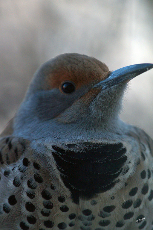 CA 07NV3690<br /> Female Northern Flicker (Colaptes auratus).