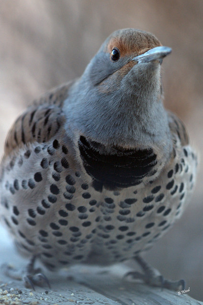 CA 07NV3704<br /> Female Northern Flicker (Colaptes auratus).