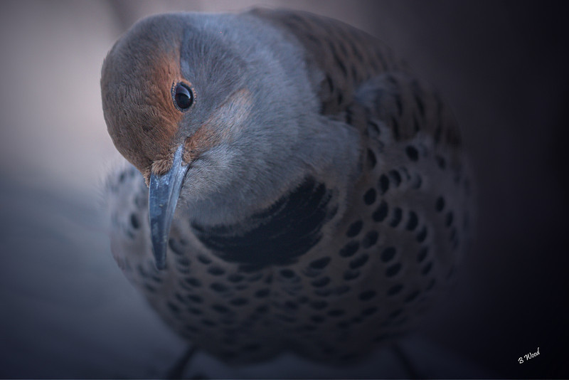 CA 07NV3699<br /> Female Northern Flicker (Colaptes auratus).