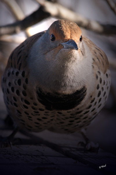 CA 07NV3636<br /> Female Northern Flicker (Colaptes auratus).