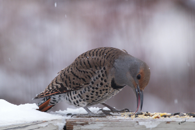CA 07DC3988<br /> Female Northern Flicker (Colaptes auratus).  <br /> <br /> If you look closely at this photo, you will see the Flickers tongue.