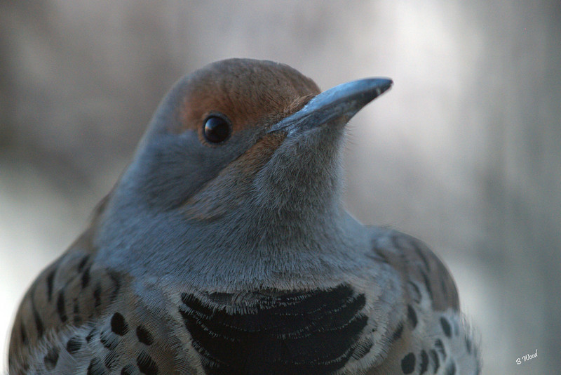 CA 07NV3686<br /> Female Northern Flicker (Colaptes auratus).