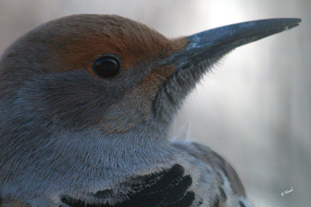 CA 07NV3687<br /> Female Northern Flicker (Colaptes auratus).
