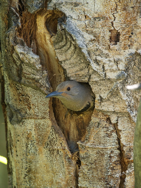 CA 06JN6559<br /> Female Northern Flicker (Colaptes auratus).<br /> <br /> She is just emerging from her nest in this dead aspen tree.