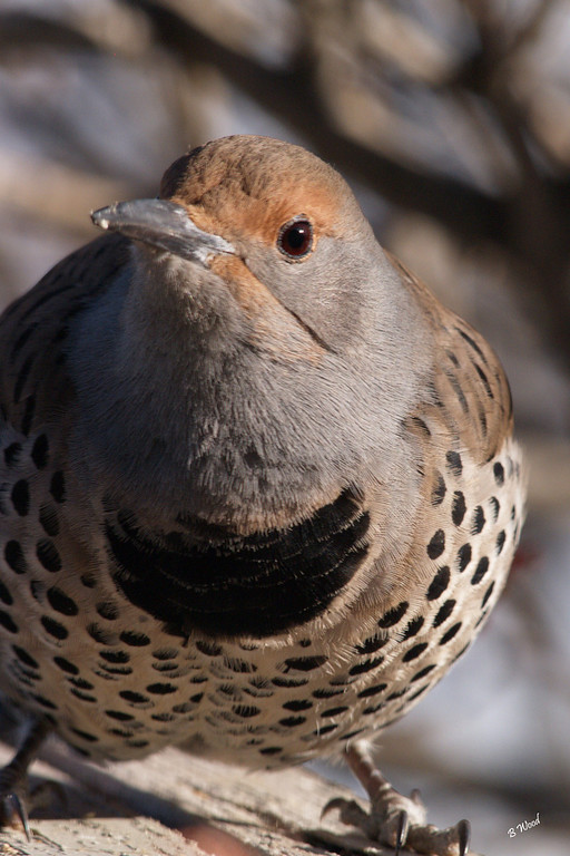 CA 07NV3632<br /> Female Northern Flicker (Colaptes auratus).