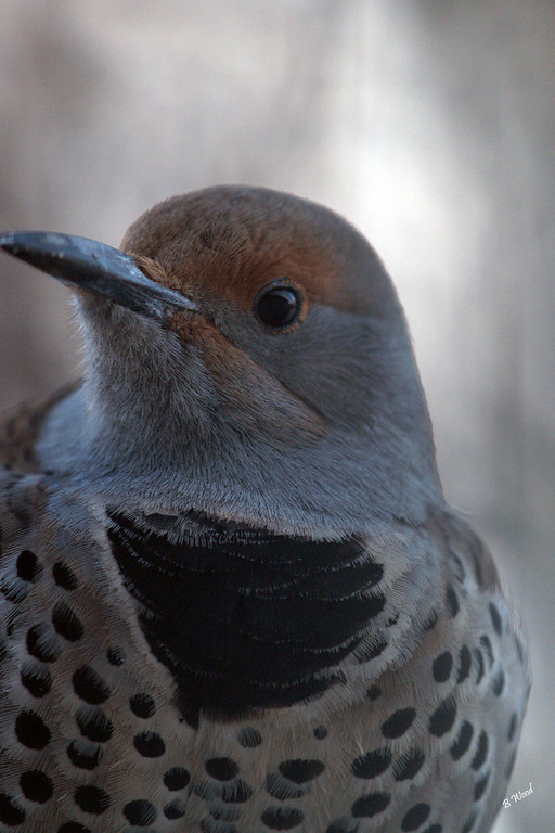 CA 07NV3692<br /> Female Northern Flicker (Colaptes auratus).