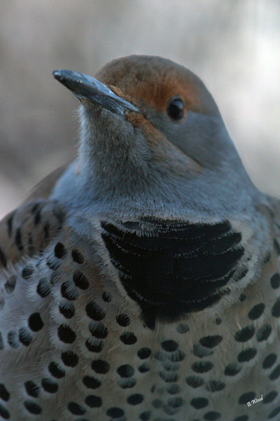 CA 07NV3688<br /> Female Northern Flicker (Colaptes auratus). <br /> <br /> Other names for the Flicker.<br /> Pic flamboyant (French)<br /> Carpintero alirrojo, Pic-palo lombricero (Red-shafted Flicker) (Spanish)