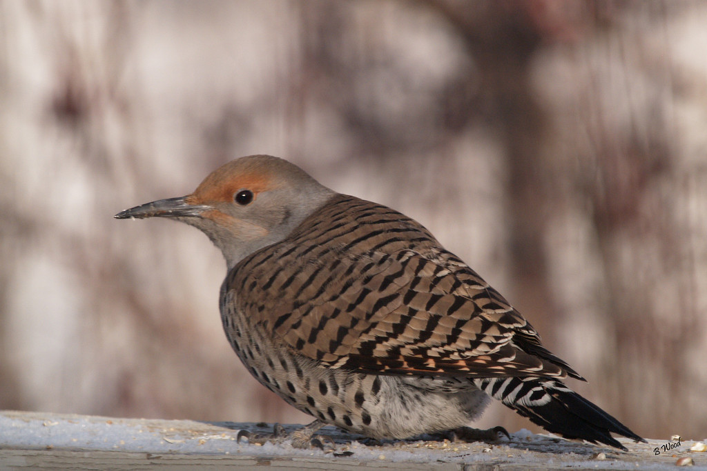 "CA 07DC3755<br /> Female Northern Flicker (Colaptes auratus).  <br /> <br /> Also known as a ""Red-shafted Flicker.""<br /> <br /> Adults are brown with black bars on the back and wings and measure approximately 32 cm (12.5 inches) in length."