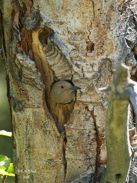 CA 06JN6547<br /> Female Northern Flicker (Colaptes auratus).<br /> <br /> She is incubating her eggs.