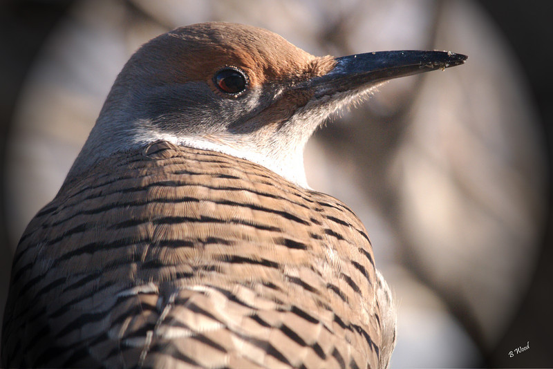 CA 07NV3612<br /> Female Northern Flicker (Colaptes auratus).