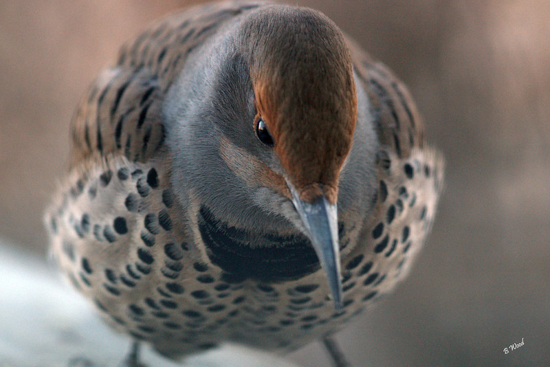 "CA 07NV3716<br /> Female Northern Flicker (Colaptes auratus).  <br /> <br /> According to the Audubon guide, ""flickers are the only woodpeckers that frequently feed on the ground"", probing with their bill, also sometimes catching insects in flight. Although they eat fruits, berries, seeds and nuts, their primary food is insects."