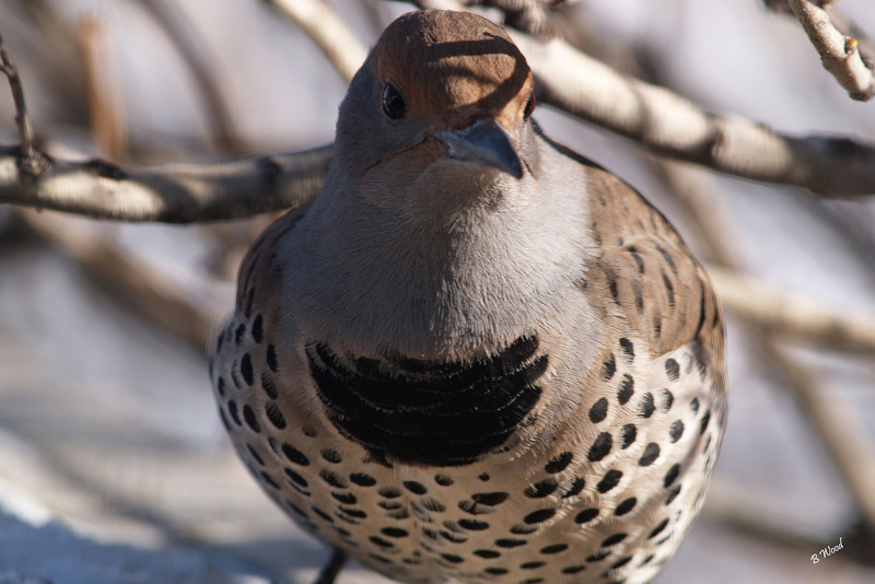 CA 07NV3671<br /> Female Northern Flicker (Colaptes auratus).