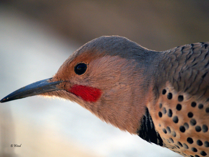CA 07NV2912<br /> Male Northern Flicker (Colaptes auratus).