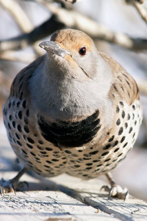 CA 07NV3642<br /> Female Northern Flicker (Colaptes auratus).