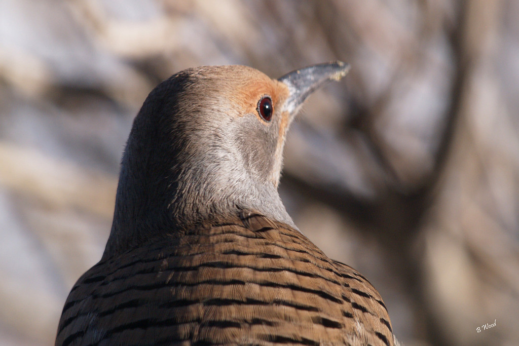 CA 07NV3608<br /> Female Northern Flicker (Colaptes auratus).