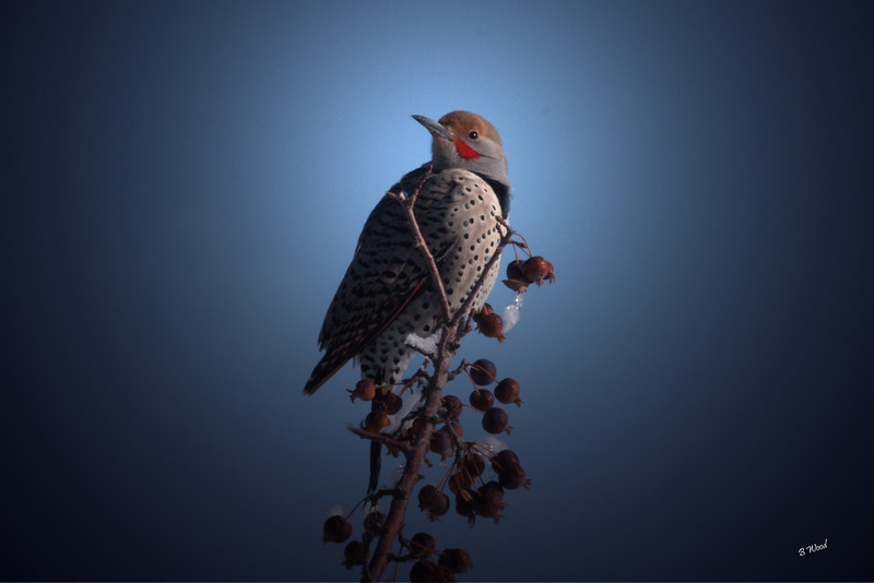 CA 07NV3451<br /> Male Northern Flicker (Colaptes auratus).