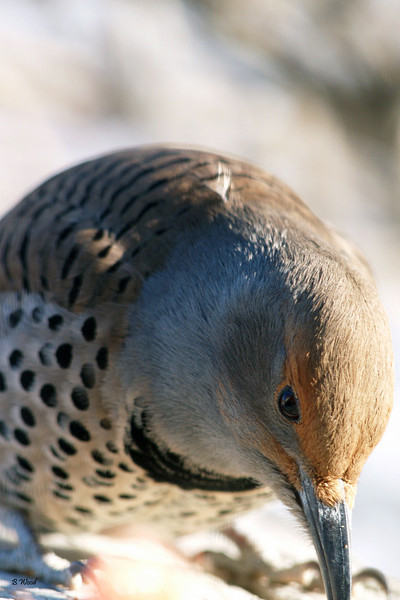 CA 07NV3616<br /> Female Northern Flicker (Colaptes auratus).