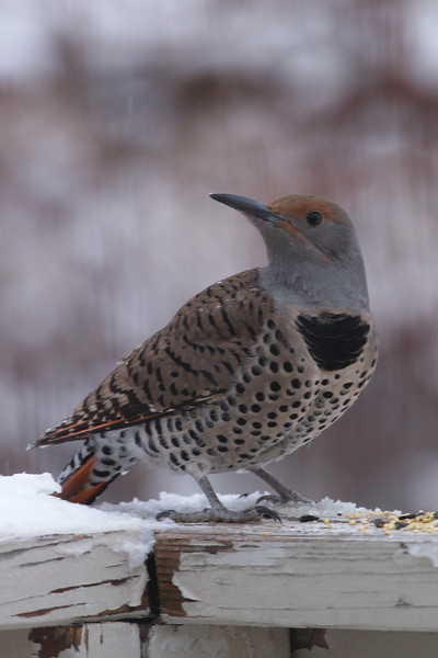 CA 07DC3991<br /> Female Northern Flicker (Colaptes auratus).