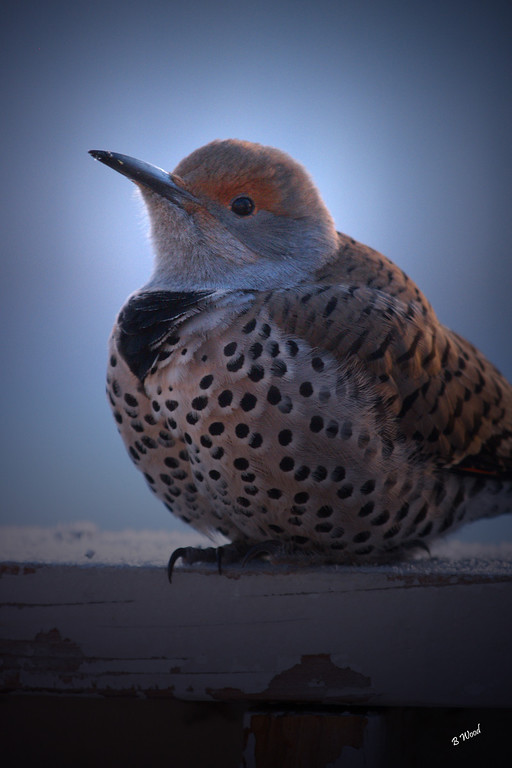 CA 07NV3536<br /> Female Northern Flicker (Colaptes auratus).