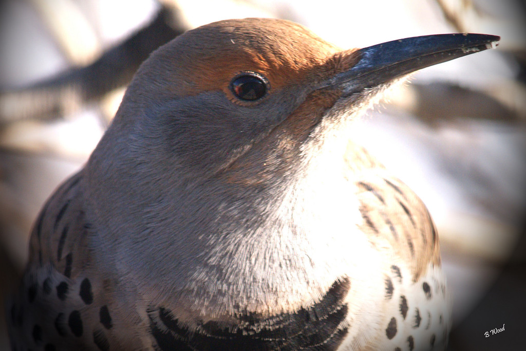 CA 07NV3644<br /> Female Northern Flicker (Colaptes auratus).