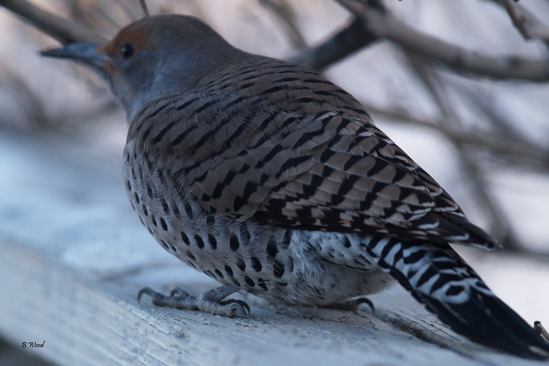 CA 07NV3720<br /> Female Northern Flicker (Colaptes auratus). <br /> <br /> Adults are brown with black bars on the back and wings and measure approximately 32 cm (12.5 inches) in length.