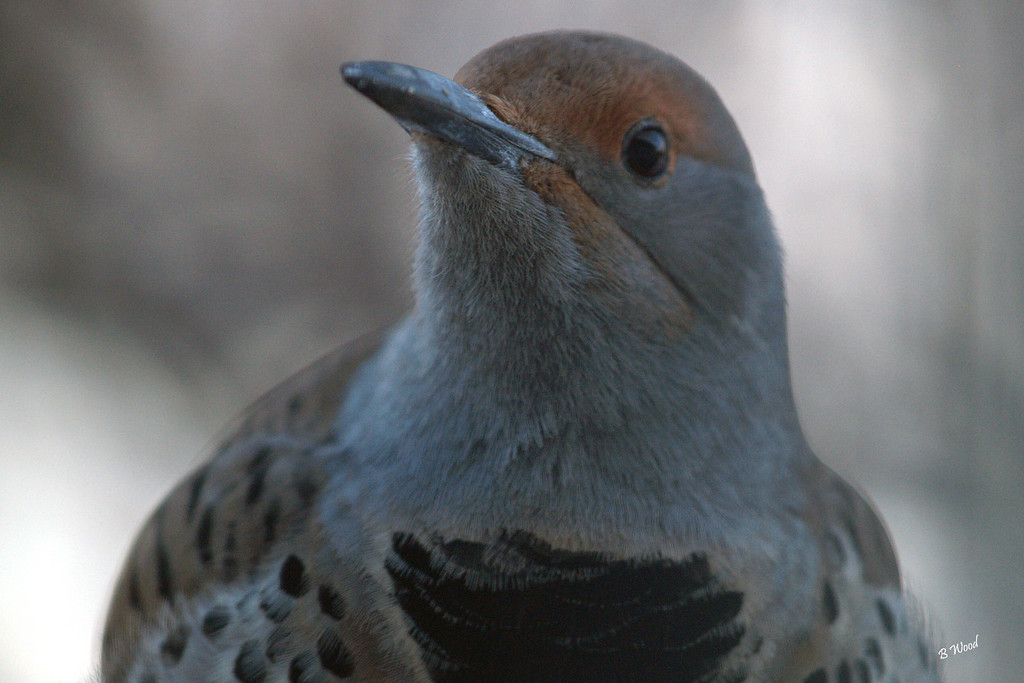 CA 07NV3683<br /> Female Northern Flicker (Colaptes auratus).