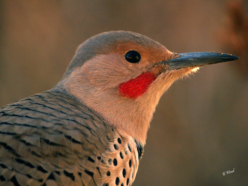 CA 07NV2911<br /> Male Northern Flicker (Colaptes auratus).  <br /> <br /> Males can be identified by a black or red moustachial stripe at the base of the beak.