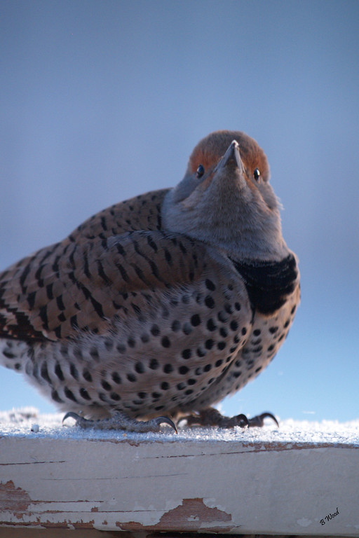 CA 07NV3540<br /> Female Northern Flicker (Colaptes auratus).