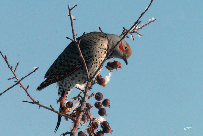 CA 07NV3438<br /> Male Northern Flicker (Colaptes auratus).