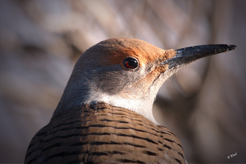 CA 07NV3611<br /> Female Northern Flicker (Colaptes auratus).