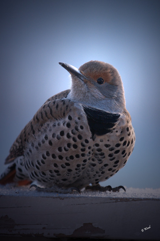 CA 07NV3542<br /> Female Northern Flicker (Colaptes auratus).