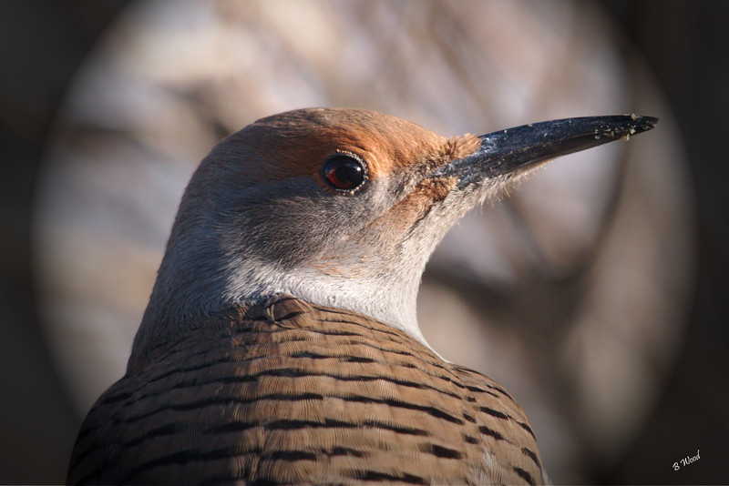 CA 07NV3609<br /> Female Northern Flicker (Colaptes auratus).