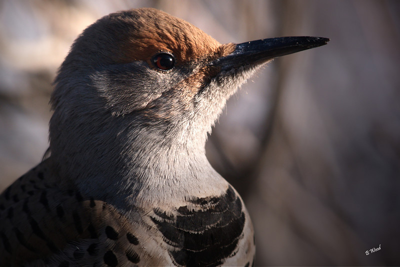 CA 07NV3681<br /> Female Northern Flicker (Colaptes auratus).