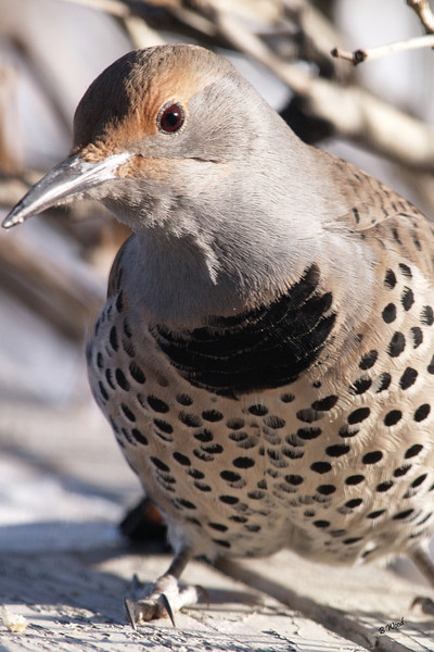 CA 07NV3649<br /> Female Northern Flicker (Colaptes auratus).
