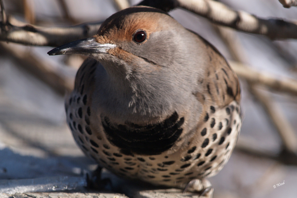 CA 07NV3672<br /> Female Northern Flicker (Colaptes auratus).