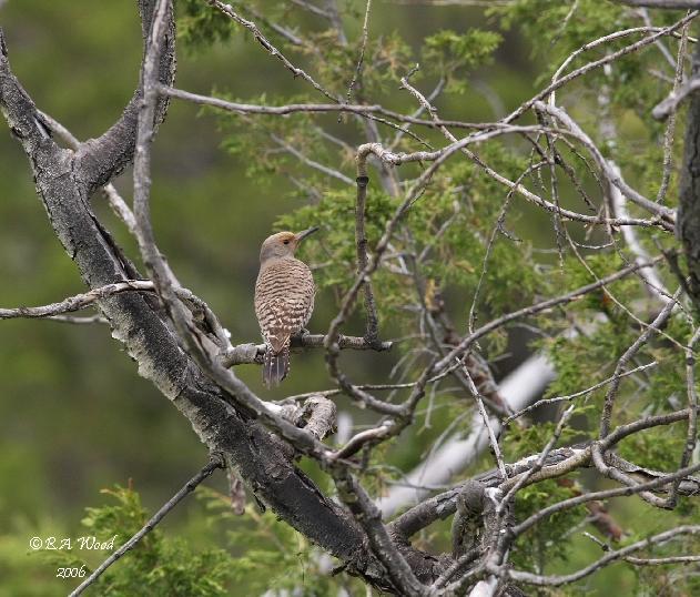 CA 06JN028<br /> Female Northern Flicker (Colaptes auratus).