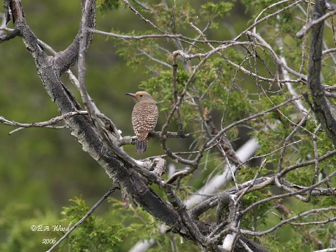CA 06JN029<br /> Female Northern Flicker (Colaptes auratus).