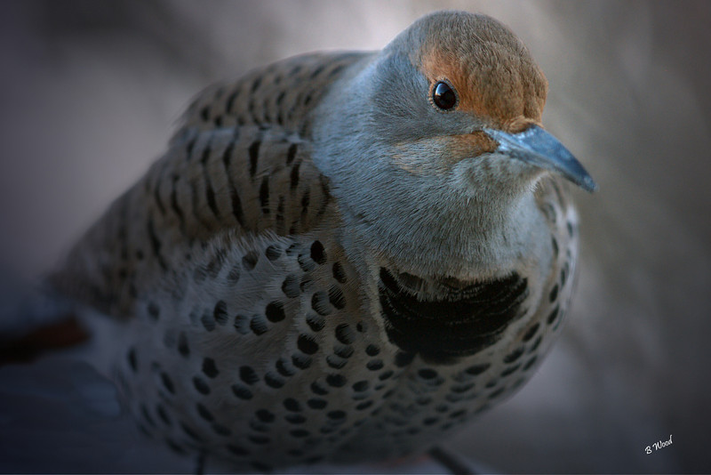 CA 07NV3694<br /> Female Northern Flicker (Colaptes auratus).  <br /> <br /> Ants alone can make up 45% of their diet. They have a behavior called anting, during which they use the acid from the ants to assist in preening, as it is useful in keeping them free of parasites.