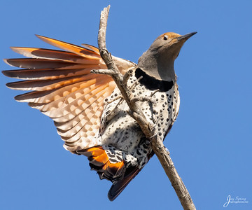 ,Northern Flicker