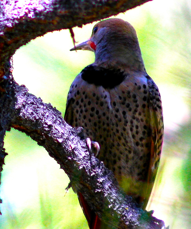 Male Northern Flicker
